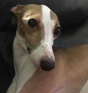 Luna, an Italian Greyhound in OH