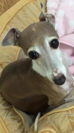 Baci, an Italian Greyhound