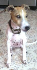 Italian Greyhound, Raymo