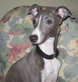 Zoey, an Italian Greyhound puppy being fostered by Italian Greyhound Place