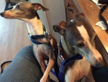 Italian Greyhound Place welcomes two bonded Italian Greyhounds to foster care in NJ