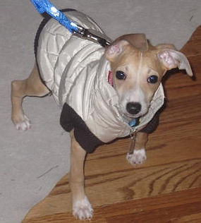 A young Italian Greyhound available for adoption in NY