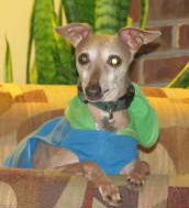 Ten-year old Italian Greyhound in MO needs home