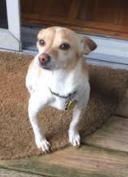 Chihuaha / Jack Russell needs new home