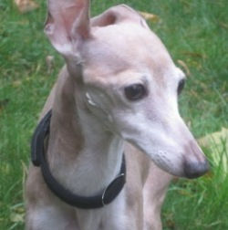 Italian Greyhound Place welcomes Toby to foster care!
