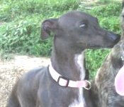 Italian Greyhound in KY needs new home