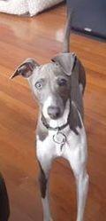 Jax, an Italian Greyhound puppy