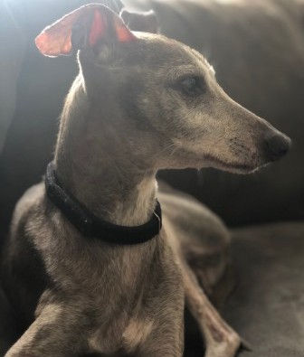 Marco, an Italian Greyhound
