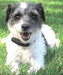 Italian Greyhound Place foster, Chrissie!