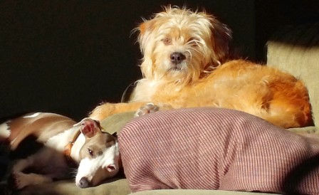 Swirl and Loni, an Italian Greyhound and a Wheaten Terrier mix