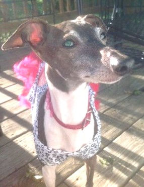 Bella, an Italian Greyhound in MD, available for adoption with Guido
