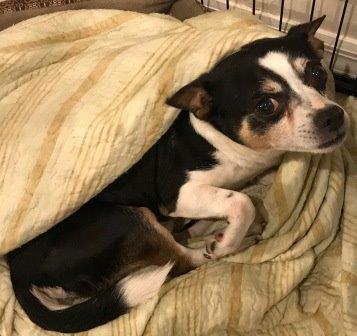 Petri, a Chihuahua