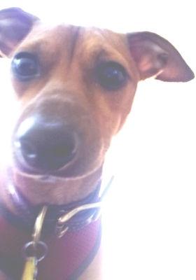 Italian Greyhound / Chihuahua in NY for adoption