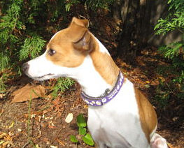 Daisy, an Italian Greyhound / Russell fostered by Italian Greyhound Place
