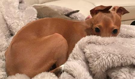 Busta, an Italian Greyhound in NV