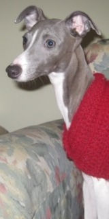 Zoey, an Italian Greyhound being fostered by Italian Greyhound Place, wearing a sweater