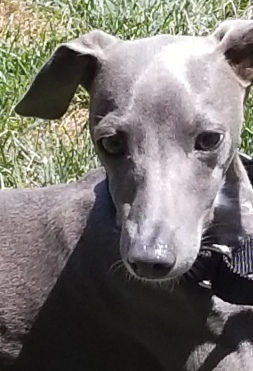 Blue, an Italian Greyhound puppy