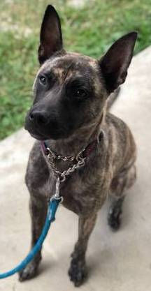Axl - a Dutch Shepherd and Whippet mix