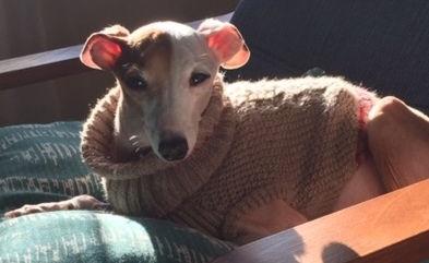 Ares, an Italian Greyhound