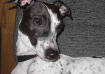 Italian Greyhound Place welcomes Mooky to foster care!