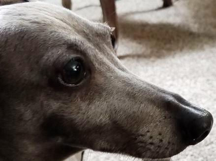 Bristol, an Italian Greyhound being fostered by Italian Greyhound Place