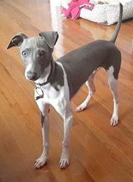 Jax, an Italian Greyhound puppy who is nine months old