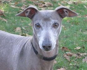 Koby, an Italian Greyhound, is being fostered in NY by Italian Greyhound Place