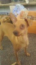 Ginger, an Italian Greyhound mix in AZ