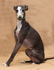 A seven-year old Italian Greyhound in NJ