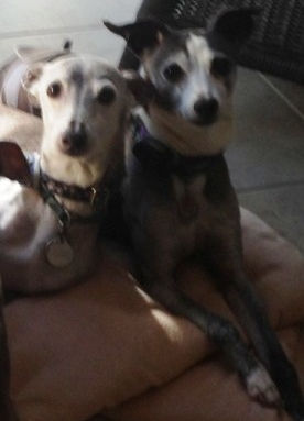 Two bonded IGs being fostered by Italian Greyhound Place in NJ