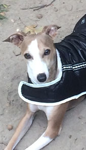 Kermit and Piggy, two Italian Greyhounds for adoption