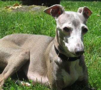 Johnny, an Italian Greyhound foster, enjoying the yard