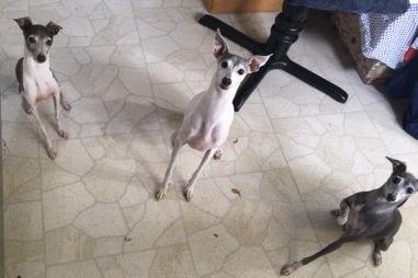 Three Italian Greyhounds