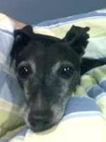 Italian Greyhound foster, Speedy
