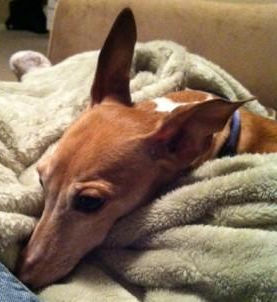 Italian Greyhound in WV available for adoption
