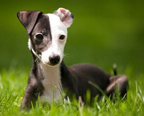 Italian Greyhound puppy fostered by Italian Greyhound Place in NY