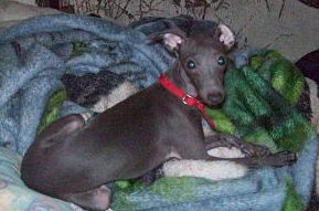 Italian Greyhound in NY looking for new home