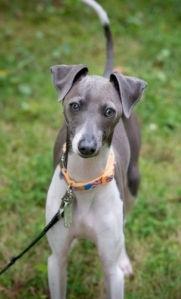 Loki, an Italian Greyhound, going for a walk