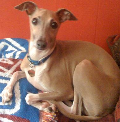 Harley, an Italian Greyhound, needs an adopter