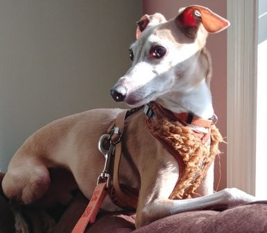 Bob, an Italian Greyhound who was in a shelter