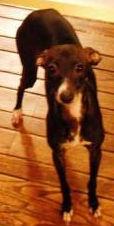 Adoptable Italian Greyhound in MI