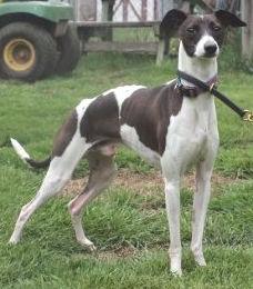 Italian Greyhound in MA