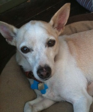 An Italian Greyhound / Chihuahua in CA for adoption
