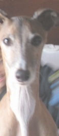 A ten-year old Italian Greyhound in NY needs an adopter
