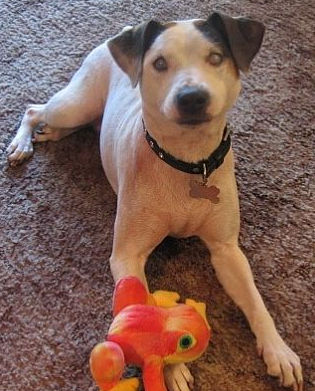 A Jack Russell mix in PA