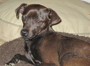 Mindy, an Italian Greyhound mix being fostered in NY by Italian Greyhound Place