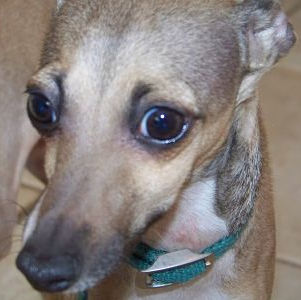 Tino, an Italian Greyhound in NY, is available for adoption