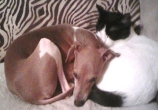 An Italian Greyhound in CT is available for adoption