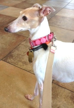 Italian Greyhound foster dog Niblet - being fostered in NJ