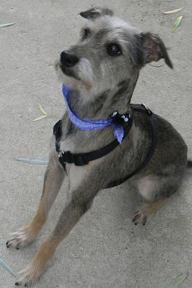 A Miniature Schnauzer in PA needs new home